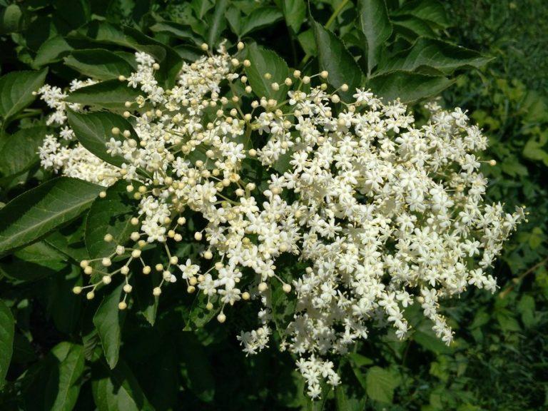 Kwiaty czarnego bzu darem natury