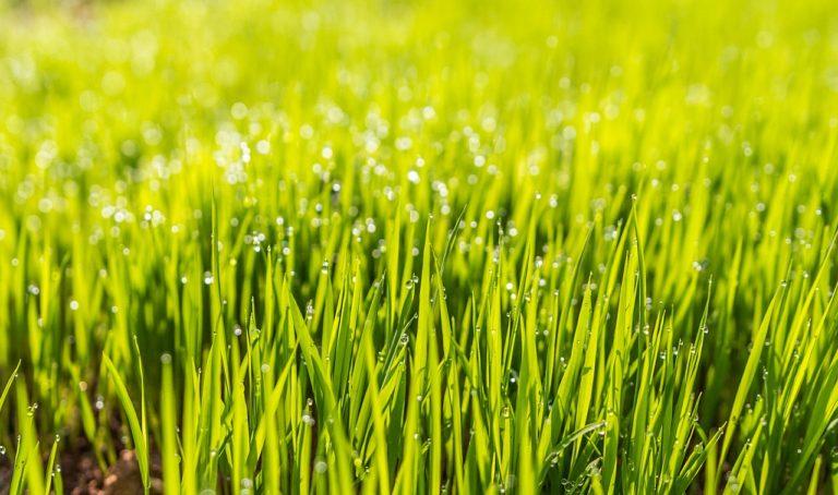 Piękny trawnik – jak pozbyć się chwastu i mchu?