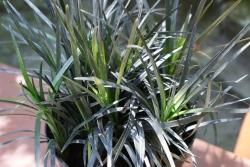 Ophiopogon planiscapus 'Black Beard' PBR