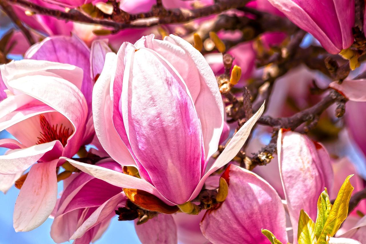 Magnolie – choroby i szkodniki